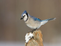 Blue Jay by Garth McElroy