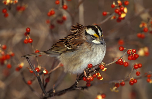 White-throated Sparrow, Tom Vezo/VIREO