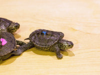 See our new terrapins in Outside In