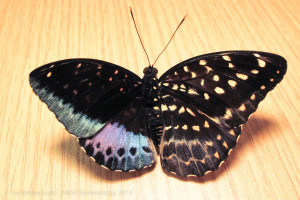 Butterfly displays bilateral gynandromorphy.