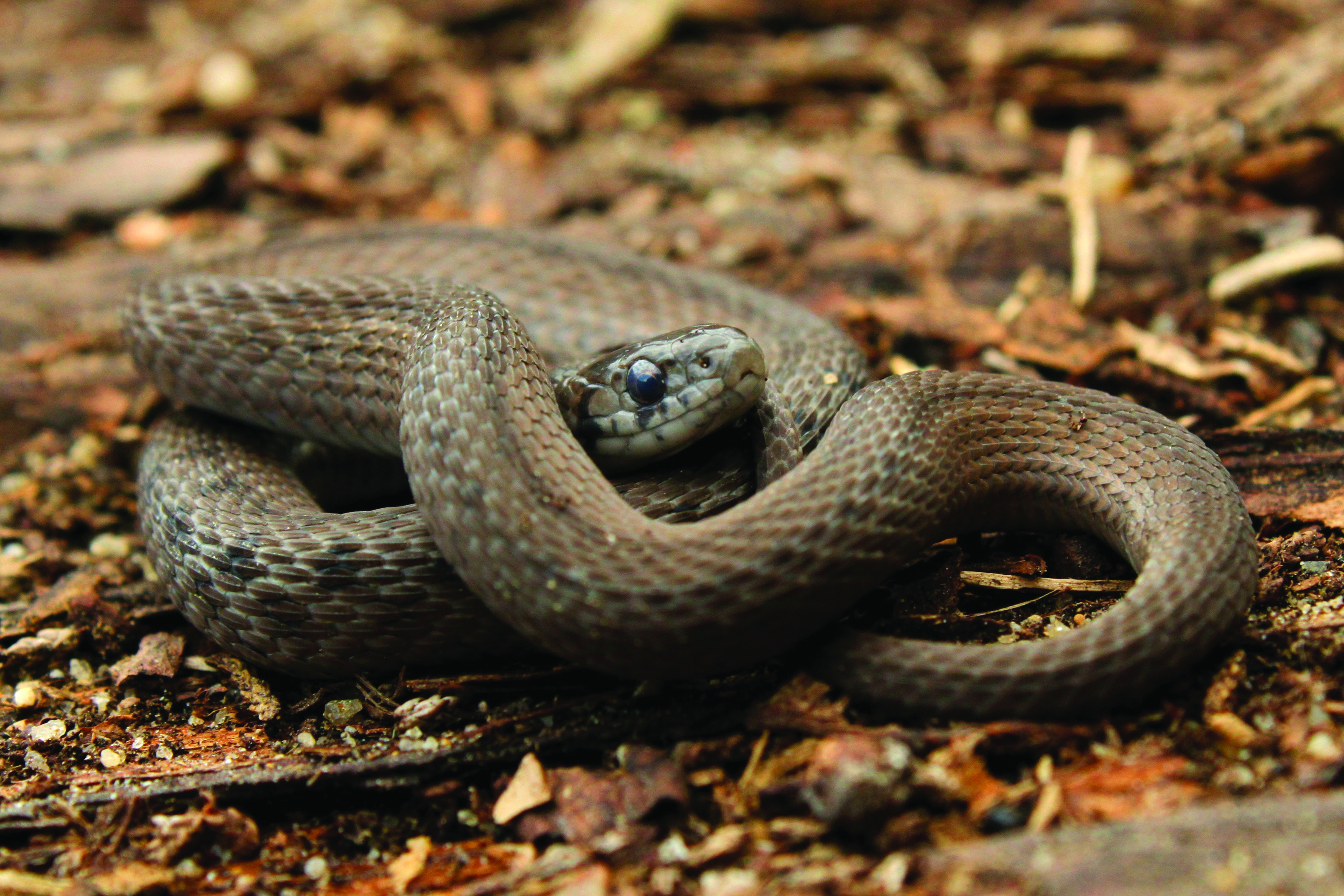 Know Your Local Snakes – The Academy of Natural Sciences