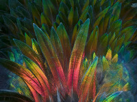Feature detail of Nicobar Pigeon