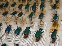 six-spotted tiger beetles from ANS collection