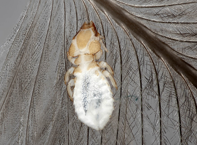parasite on feather
