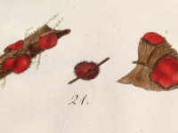 scutellata illustration