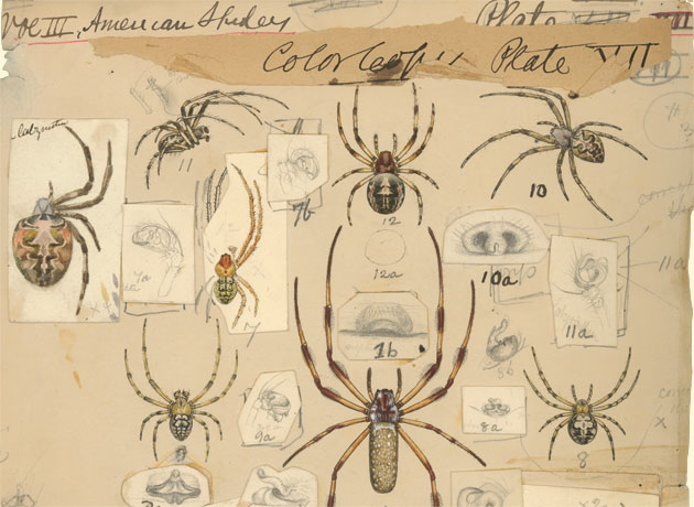 Henry McCook Spider Drawing