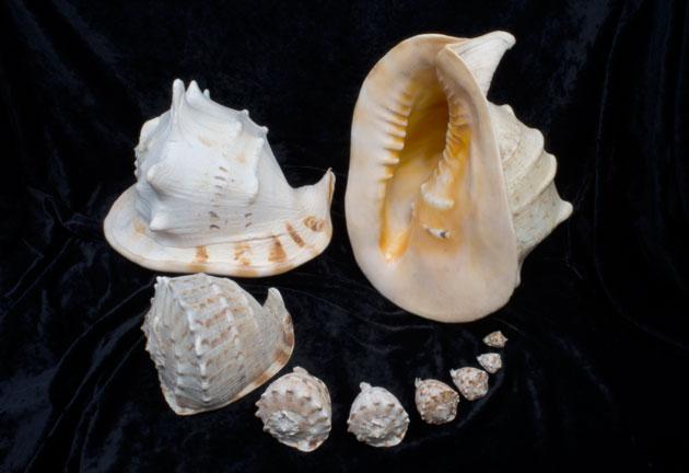 Horned Helmut Shell