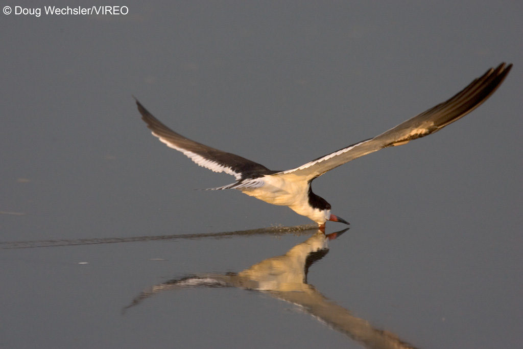 Black Skimmer Rynchops niger foraging in saltmarsh NJ,, Delaware Bay _F2B2700