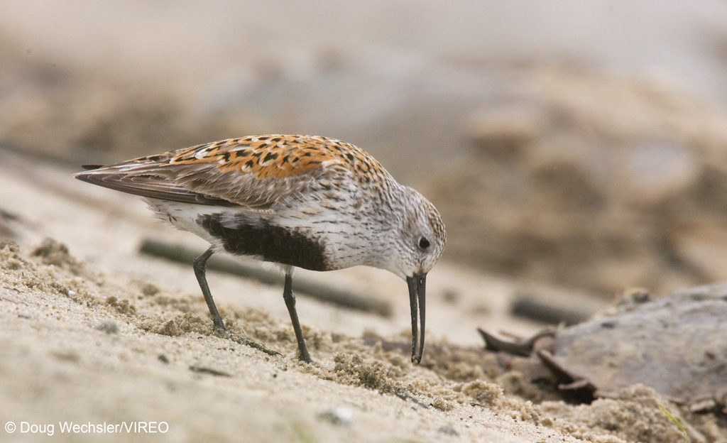 Dunlin feeding on horseshoe crab eggs Calidris alpina NJ, Delaware Bay