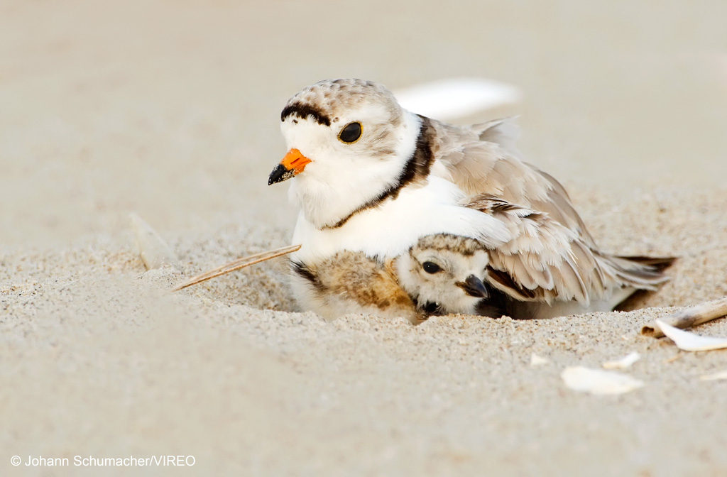 Piping Plover. Charadrius melodus. Gateway NRA, New York, NY. A portrait of piping plover parent and week-old piping plover chick in beach habitat.