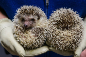 Twin hedgehogs steal the spotlight at the Academy of Natural Sciences. Get Cyber Monday science museum discounts today.