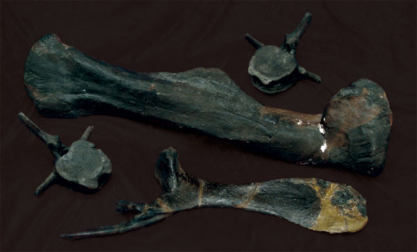 Hadrosaurus bones on velvet