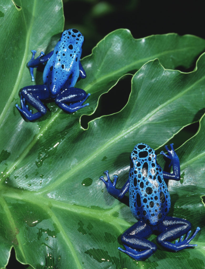 Blue Poison Dart Frogs are just one of the 15 species of frogs appearing in the exhibit.