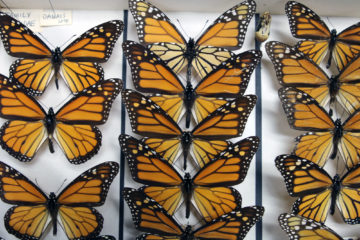 Monarch butterflies from the collection of the Academy of Natural Sciences