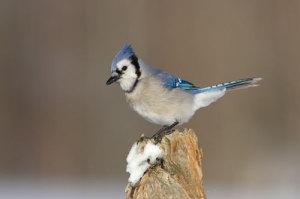 Blue Jay by Garth McElroy