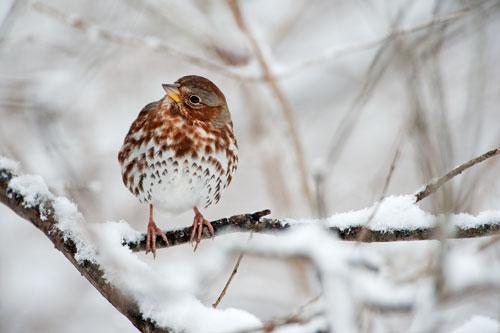 Fox-Sparrow-s36-39-104