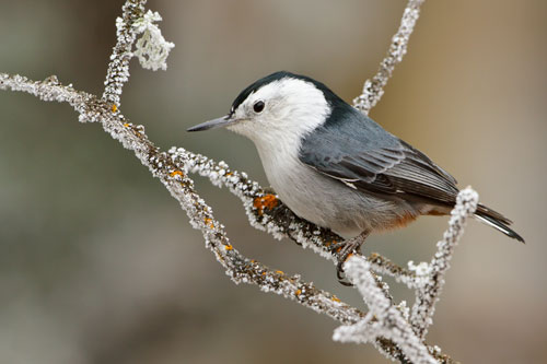 White-breasted-Nuthatch-b57-14-185_3