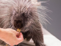 Barton the Porcupine