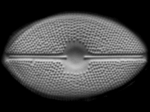 diatom five