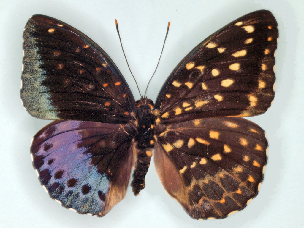 The right wings of this preserved Lexias pardais are characteristic of the female of the species and the left wings are typical of the male. Photo by  J.D. Weintraub/ANSP Entomology