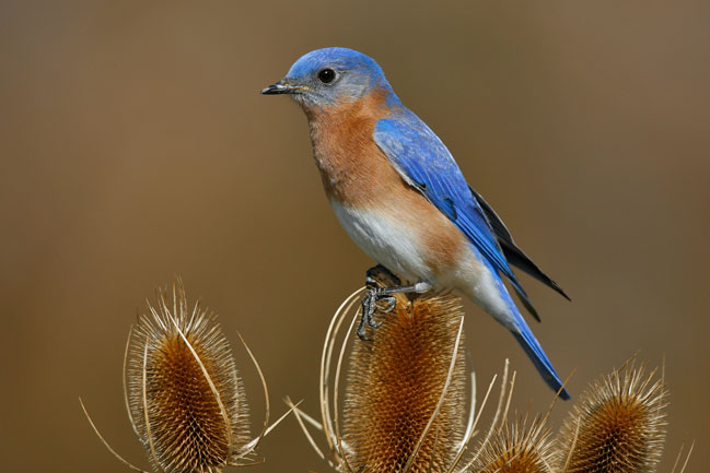 Learn about the courtship rituals of animals like the eastern bluebird from natural scientists.