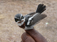 Chinspot Batis Photo: Jason D. Weckstein