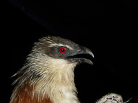 White-browed Coucal Photo: Jason D. Weckstein