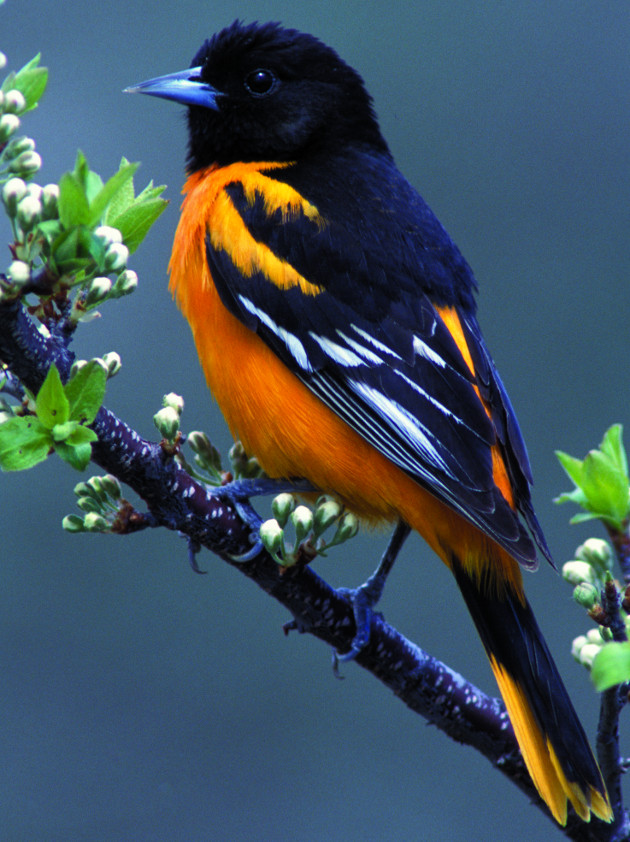 a bird with black and white wings and an orange body on perched on a tree branch