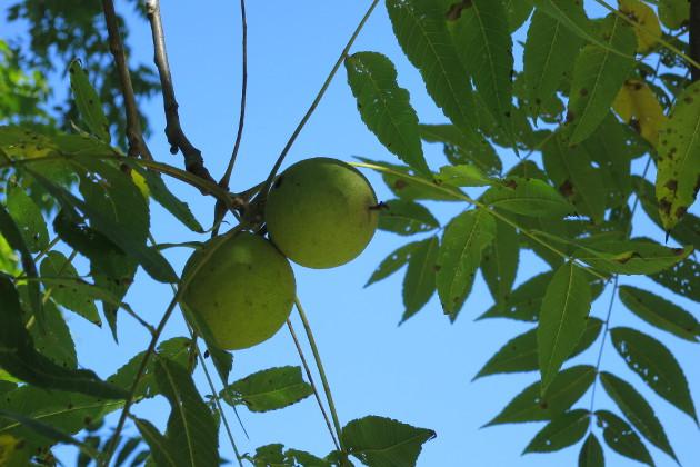 black walnut pods in tree