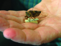 """Search Results for """"cicada"""" – The Academy of Natural Sciences"""