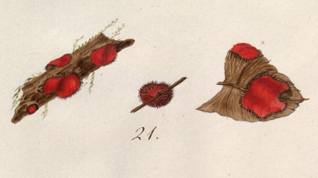 scutellata illustration
