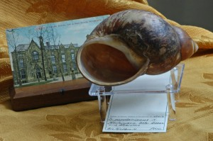 Large land snail, Megalobulimus popelairianus, collected by Brother Niceforo Maria in Peru in the early 1900s.