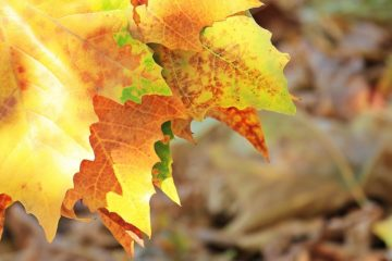 edges of yellow and orange autumn leaves