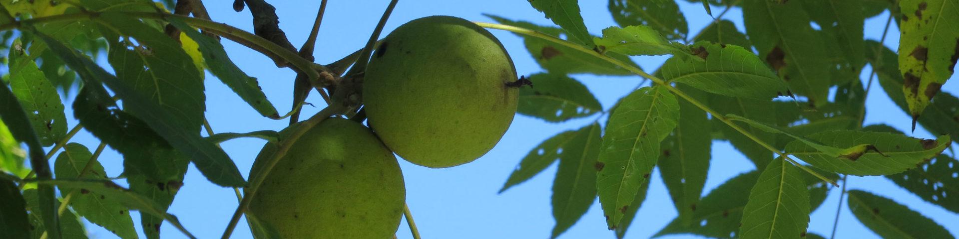 Black walnut leaves against sky