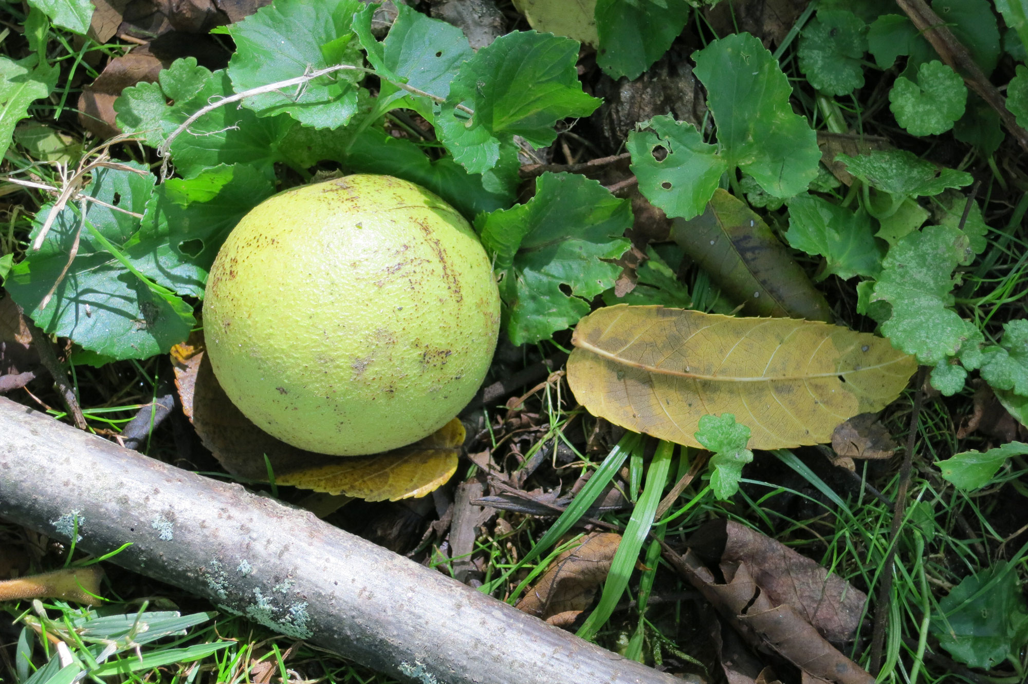 Black walnut fruit on ground