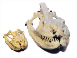 Two skull models
