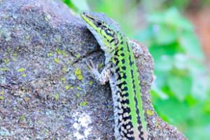 Wall_lizard_2_PK
