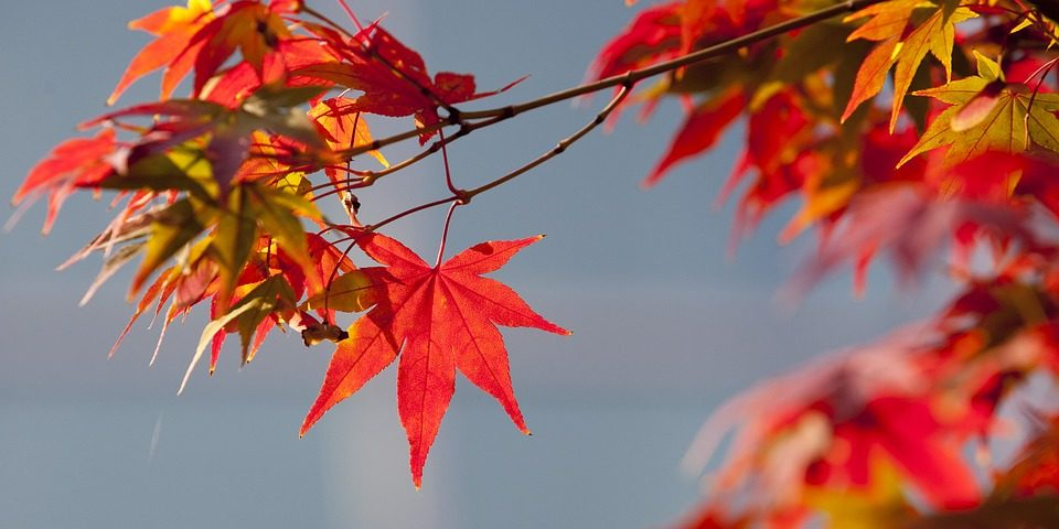 Close up of Red Autumn leaves against blue gray sky