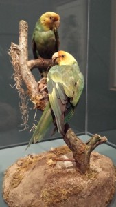 Audubon mounted these now-extinct Carolina parakeets so he could draw them true to life.