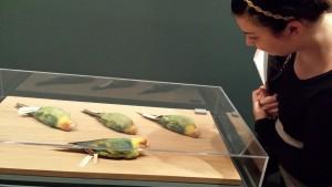 The Academy's Audubon Carolina parakeet specimens currently on display at the Philadelphia Museum of Art.