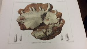 A lithograph of the fossil from around the time it originally made its way to the Academy's collection.
