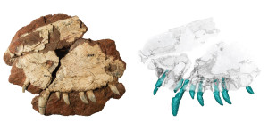 The Dimetrodon fossil, left, with the CT scan of it used by the Canadian research team. Photo courtesy Kirsten Brink.