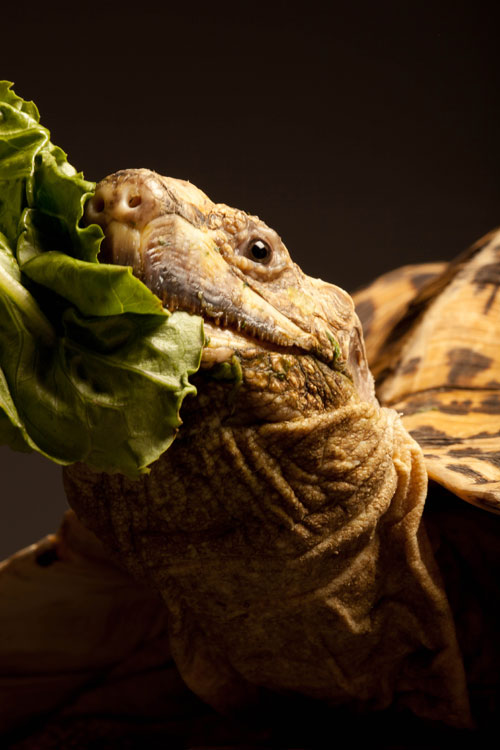 Ollie the Tortoise