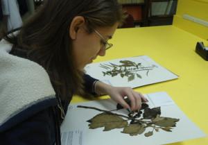woman working on botanical specimen