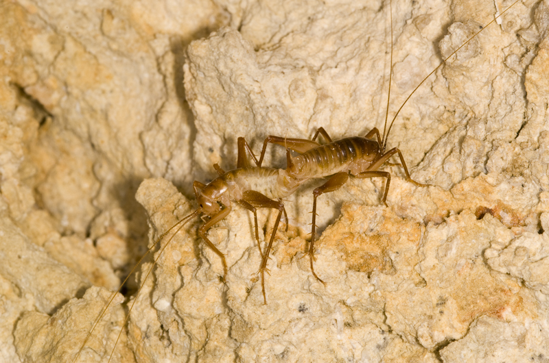 A pair of Ceuthophilus crickets