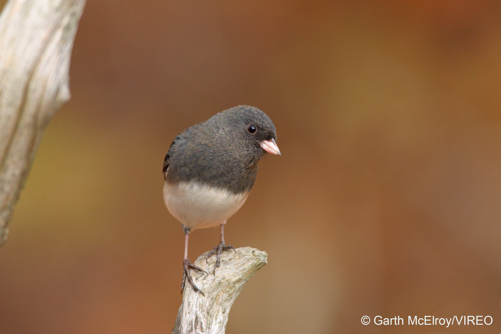 Dark-eyed Junco m50-1-126