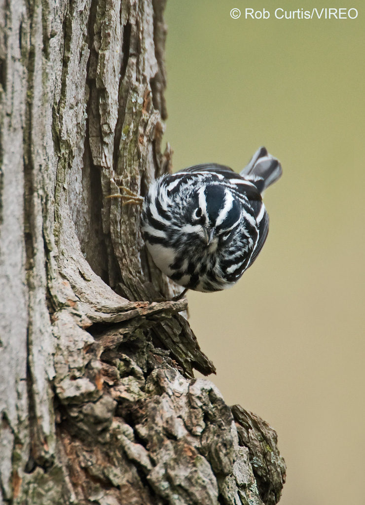 Black-and-white Warbler c22-38-051
