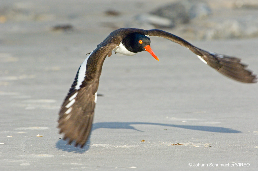 Oystercatcher Low Flight over Beach