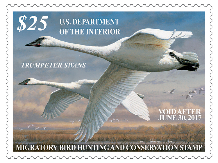 Trumpeter Swans are depicted on this year's Duck Stamp.