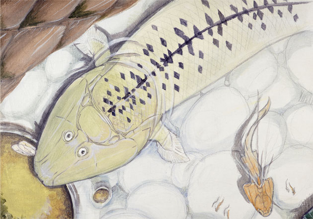 Tiktaalik roseae Illustration by Jason Poole